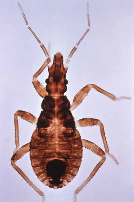 Kissing Bug from CDC.jpg