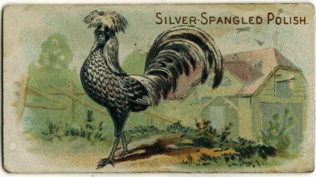 Silver-spangled Polish.jpg