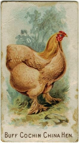 Buff Cochin China Hen.jpg