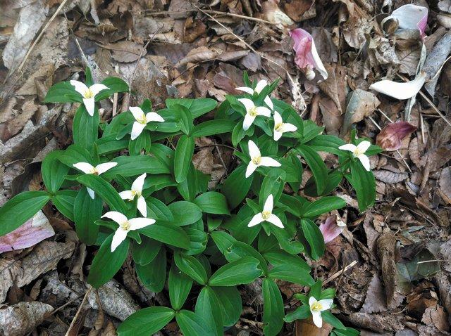 Gardening_Trillium---Photo-Credit-Grace-Elton_hp0316.jpg