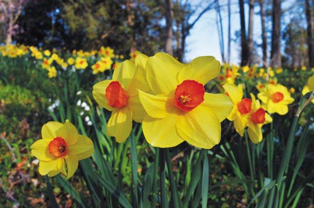 Gardening_Daffodils---2---Photo-Credit-Lewis-Ginter-Botanical-Garden_hp0316.jpg