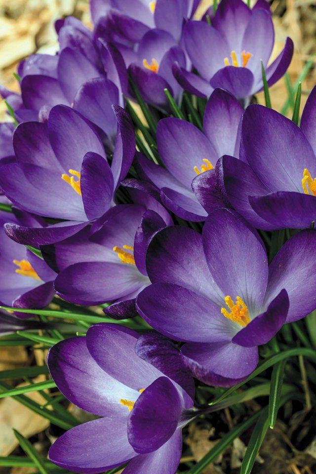Gardening_Crocus-tommasinianus-'Ruby-Giant'--2---Photo-credit-Don-Williamson_hp0316.jpg