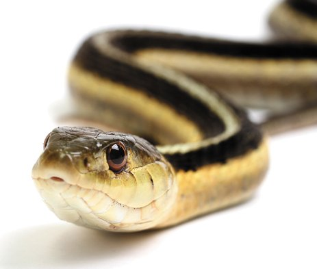 local_snake_THINKSTOCK_rp0716.jpg