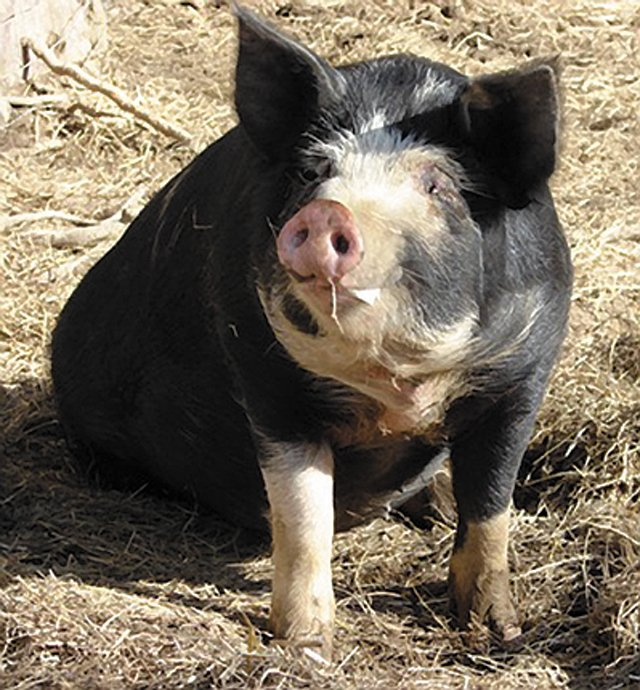 dining_purveyor_black_boar_farm_pig_COURTESY_rp0816.jpg