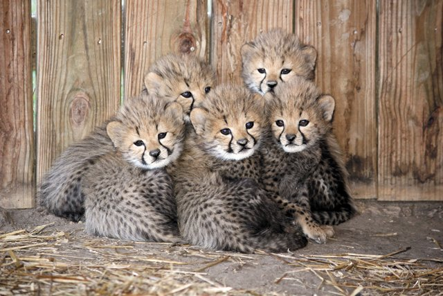 local_cheetahs_MetroRichmondZoo_rp0916.jpg