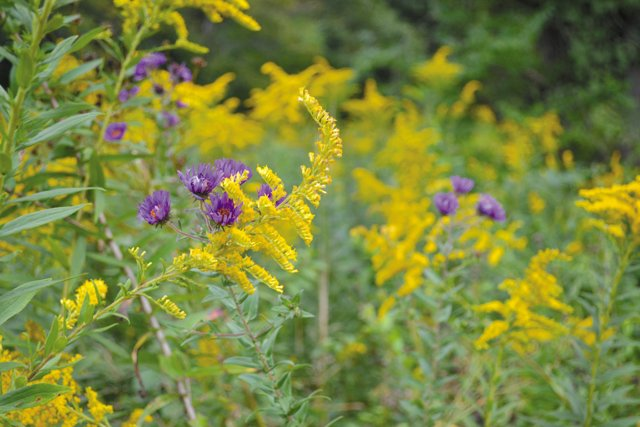 department_garden_Aster-and-Goldenrod--Photo-credit-Grace-Elton_hp0916.jpg