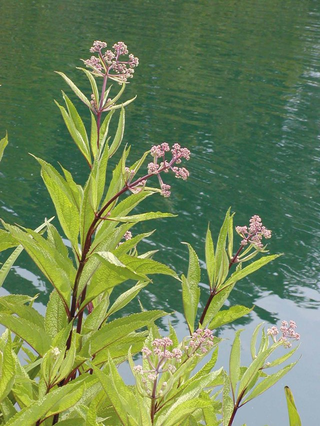 department_garden_Joe-Pye-Weed--Photo-credit-Don-Williamson_hp0916.jpg