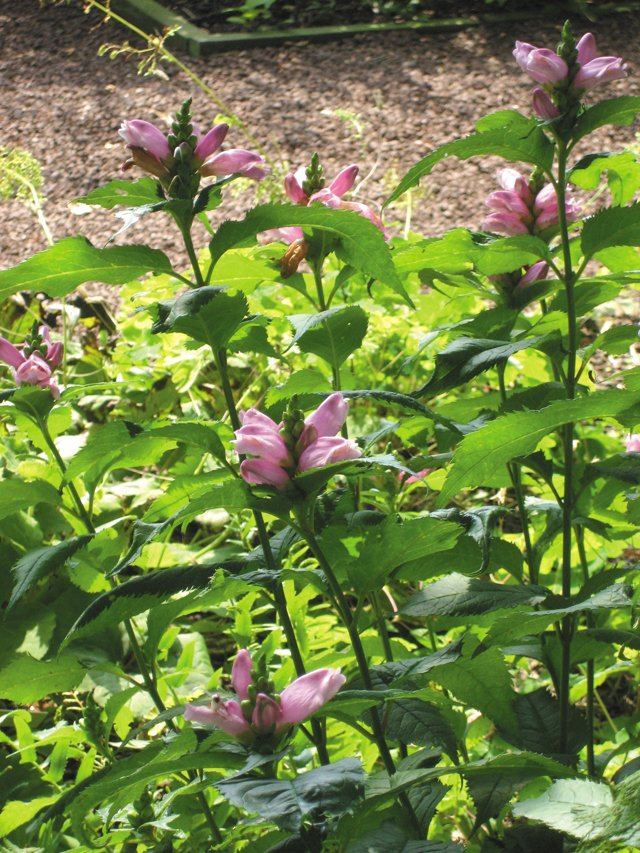 department_garden_Turtlehead2--Photo-credit-Grace-Elton_hp0916.jpg