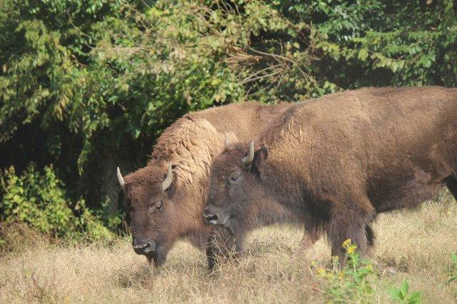 bison1-maymont.jpg