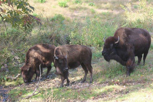 bison2_maymont.jpg