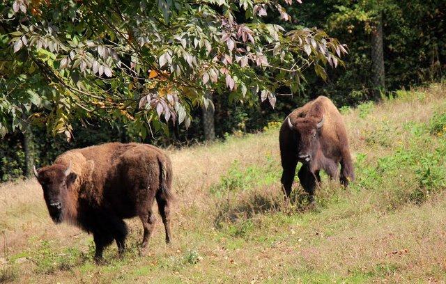 bison3_maymont.jpg