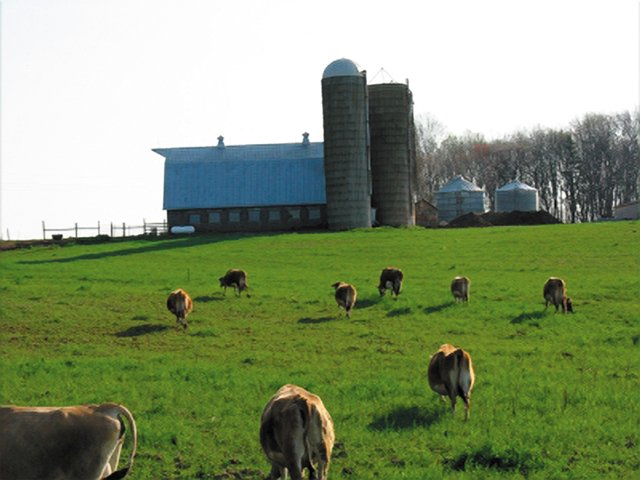 dining_pruveyor_cowsgrazing_CourtesyAvery'sBranchFarms_rp1116.jpg