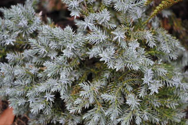 department_garden_Juniperus-squamata-'Blue-Star'-Photo-Credit-Grace-Elton_hp1116.jpg