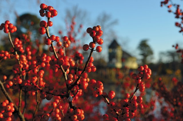 department_garden_Winterberry-Holly--Photo-Credit-Beth-Monroe_hp1116.jpg