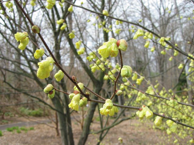 department_garden_Corylopsis_hp0117.jpg