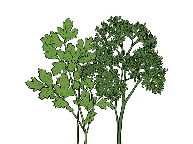 Dining_Ingredient_Parsley_KRISTY_HEILENDAY_rp0417-crop.jpg