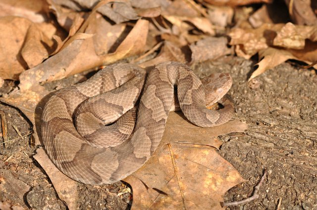 Adult Copperhead