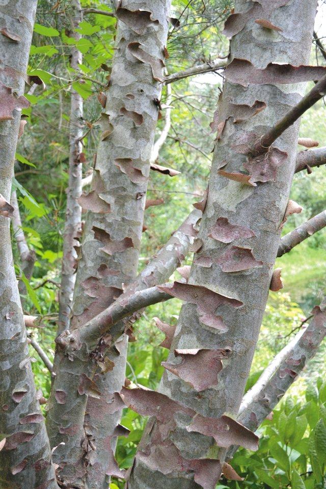 departments_garden_Pinus-bungeana--Lacebark-Pine--Photo-credit-Grace-Elton_hp0517.jpg