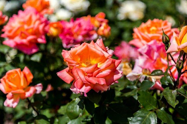 roses_luke-barnard-unsplash-111493.jpg