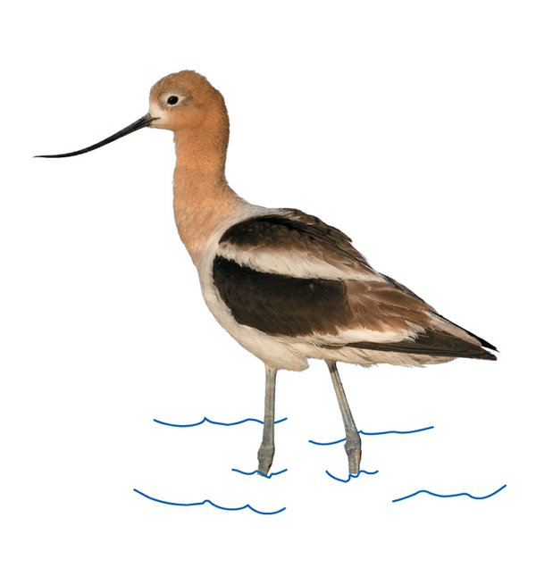 local_iNaturalist_American_avocet_THINKSTOCK_rp0917.jpg