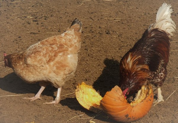 pumpkin-recycling-chickens.jpg