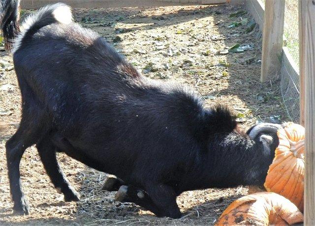 pumpkin-recycling-goat.jpg