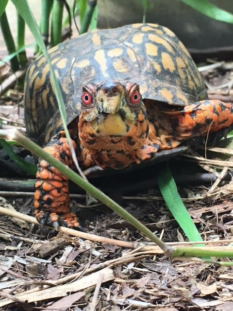 box-turtle_courtesy-shelley-whittington.JPG
