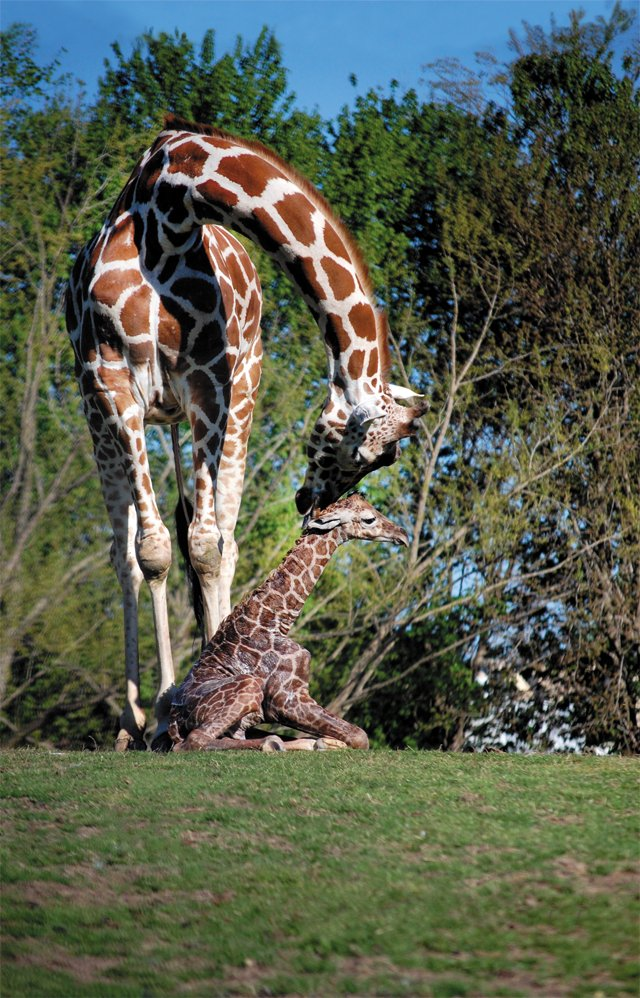 Go_South_Moseley_Giraffe_RichmondMetroZoo_rp0318-copy.jpg
