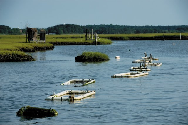 feature_scallops_scallop_farm_Chesapeake_Bay_CHRISTOPHER_ASSAF_rp0818.jpg