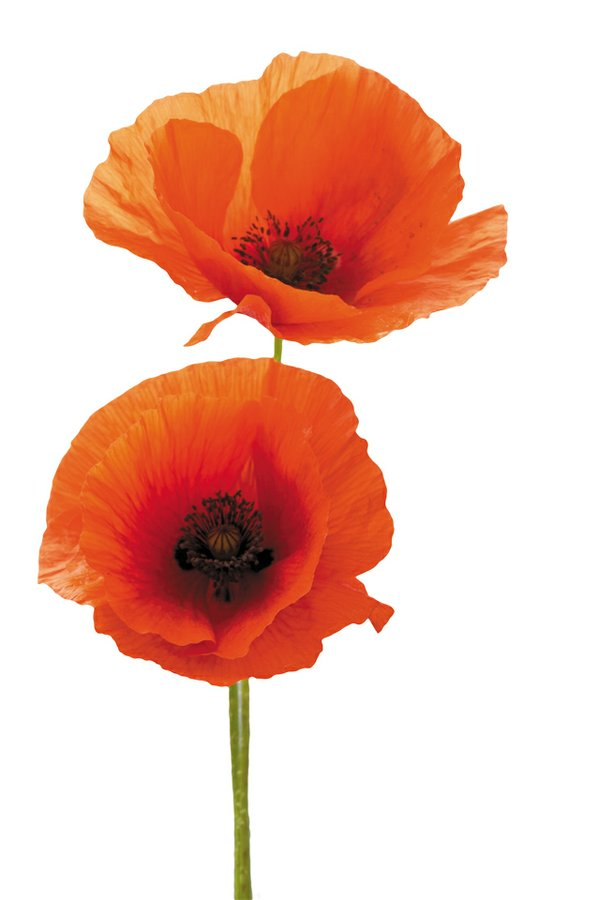 b&w_shopping&services_flowers_poppy_THINKSTOCK_rp0818.jpg