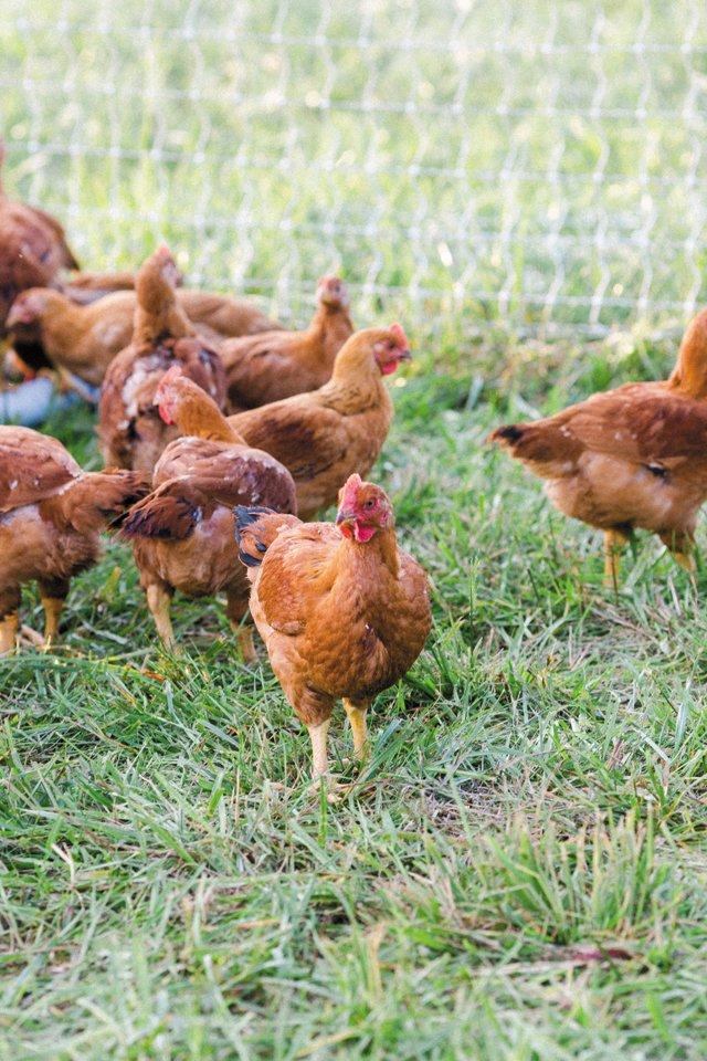 Dine_GreenAcres_ShireFolkFarm_Chickens_SARAH_DER_dp1018.jpg