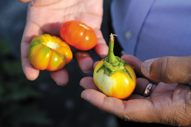 Dine_AfricanCrops_VSU_AfricanEggplants_JAY_PAUL_dp1018.jpg