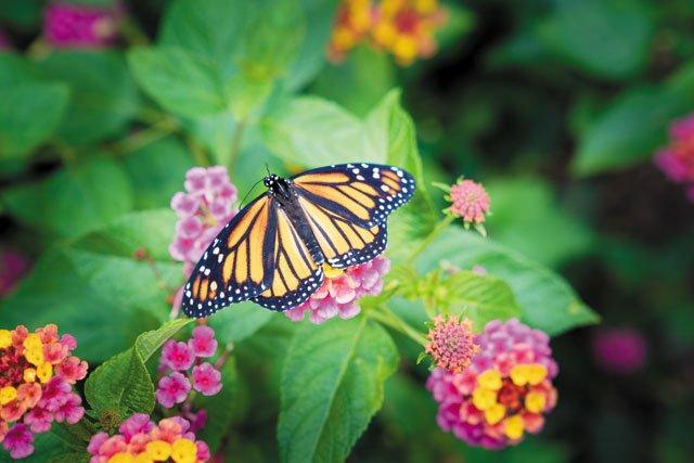 Education_MonarchButterfly_Butterfly_COURTESYUNIVERSITYOFRICHMOND_rp0219.jpg