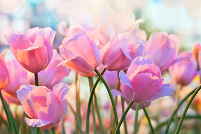 tulips_GettyImages-511112100.jpg