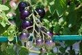 Tomatoes_Scuffletown_EileenMellon.jpg