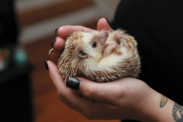 PetGuide_ExoticPets_Hedgehogs_JAYPAUL_rp1219.jpg