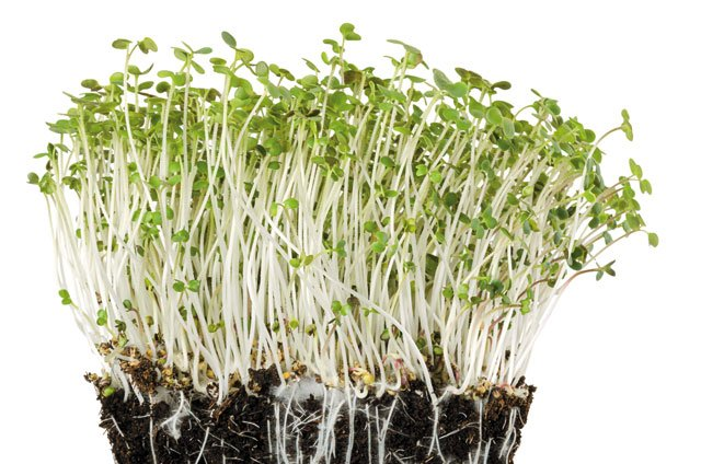 Eat&Drink_Purveyor_LilSproutMicrogreens_GETTY_rp0120.jpg
