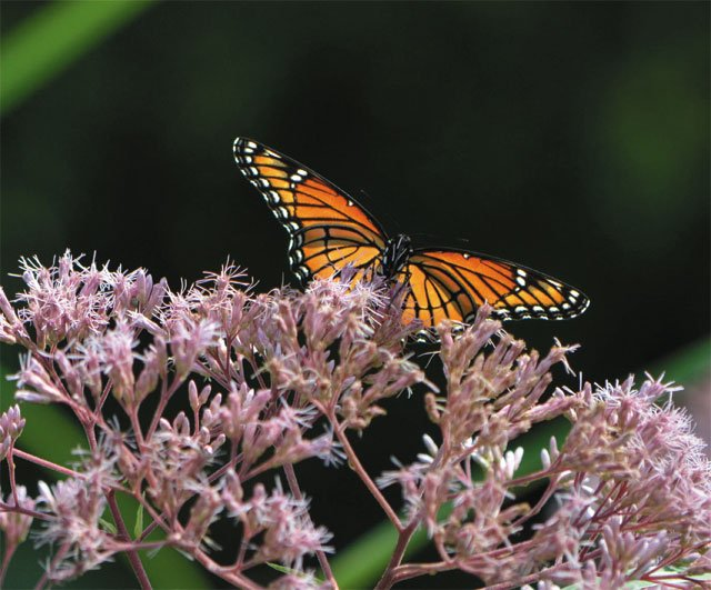 department_garden_Butterfly-on-Joe-Pye-Weed-in-West-Island-Garden_JONAH_HOLLAND_hp0120.jpg