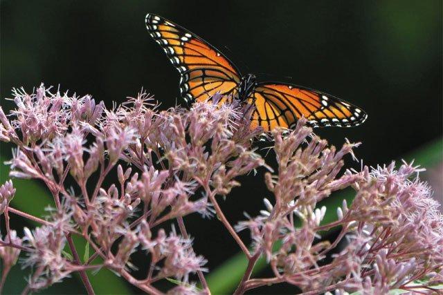 department_garden_Butterfly-on-Joe-Pye-Weed-in-West-Island-Garden_JONAH_HOLLAND_hp0120_teaser.jpg