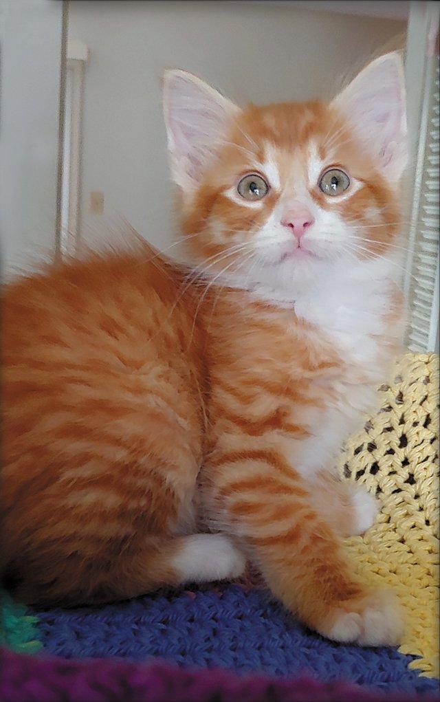 FEA_Fostering_Kitten_COURTESYCONNIEHARTMANN_rp0520.jpg