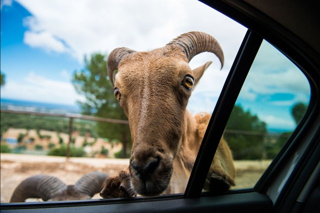 goat-at-window_getty.jpg