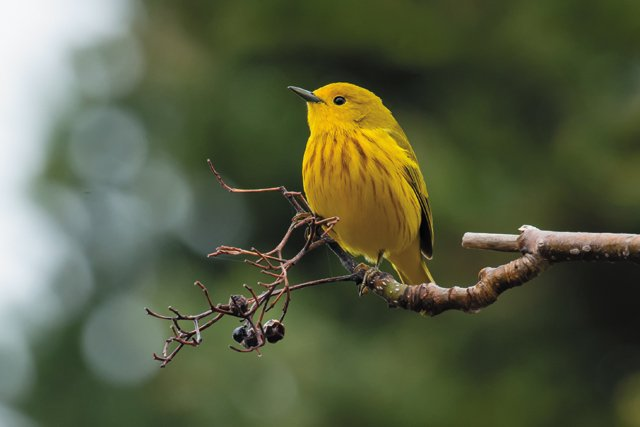 bob_Q&A_Birding_PrarieWarbler_GETTY_hp0720.jpg
