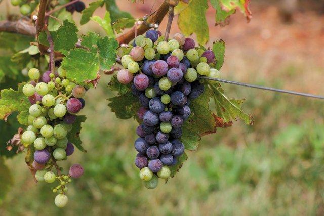 Eat&Drink_Opener_Wine_Grapes_EILEEN_MELLON_rp1021.jpg
